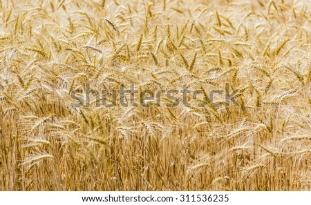Spikes, stems and leaves of ripe wheat in the field closeup