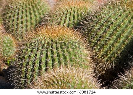 Spiky Cactus - Echinocactus grusonii ( Golden Barrel Cactus, Golden Ball, Mother-in-Law's Cushion ) Focus on centre cactus - stock photo