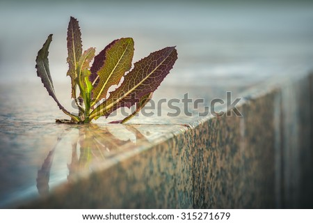 Spiky plant growing through pavement crack on the sidewalk. Nature adaptation in an urban environment. Life triumph. Shallow depth of field. - stock photo