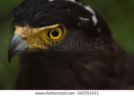 Spilornis Cheela (crescent serpent eagle) - stock photo
