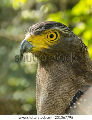 Spilornis cheela,Serpent-eagle face - stock photo