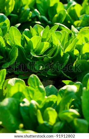 Spinach in the garden - stock photo
