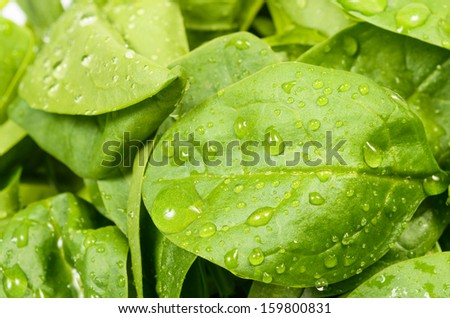 Spinach leaves close up, with water drops