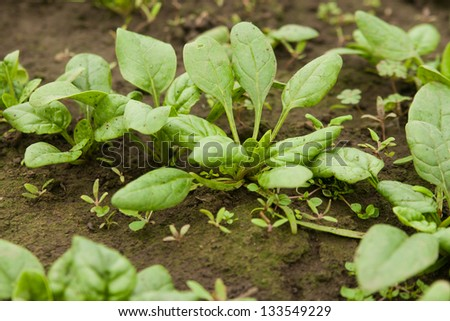Spinach plantation in a greenhouse - stock photo