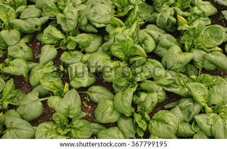 Spinach Plants (Spinacia oleracea) in a Country Cottage Vegetable Garden in Rural Devon, England, UK - stock photo