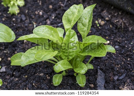 Spinach Seedling/ Young healthy Spinach plants growing in an organic garden bed