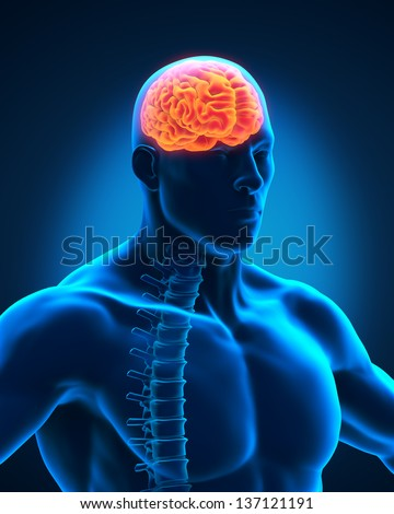 Spinal Cord and Brain Anatomy - stock photo