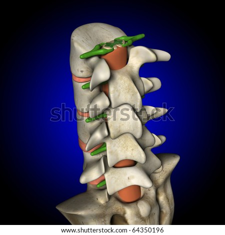 Spine, Spinal Cord and Nerves, Back View - stock photo