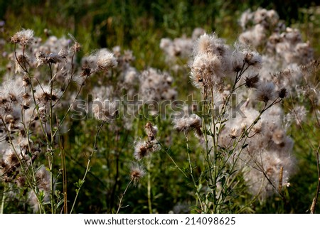 Spines and fuff on plants in green field in sunny day  - stock photo