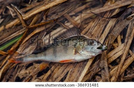 spinning fishing perch - stock photo