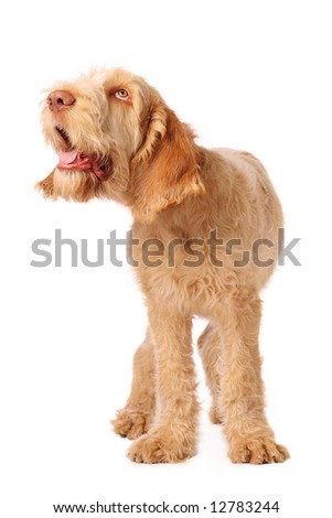 spinone pup with humorous expression - stock photo