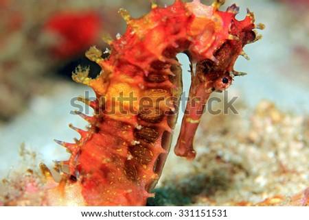 Spiny Seahorse (Hippocampus Histrix, aka Thorny Seahorse). Padang Bai, Bali, Indonesia - stock photo