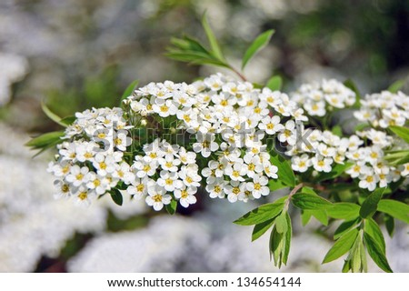 Spiraea alpine spring flower white flowering stock photo image spiraea alpine spring flower white flowering shrub mightylinksfo