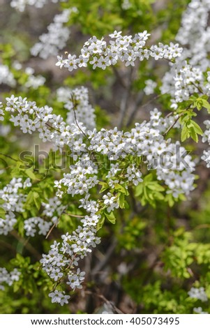 Spiraea in the garden