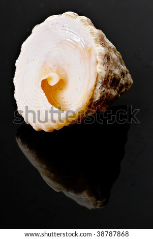 Spiral Conch Shell on black mirror background. Studio shot, not isolated.