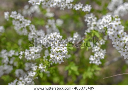 Spirea in the garden