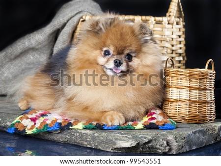 spitz dog - stock photo