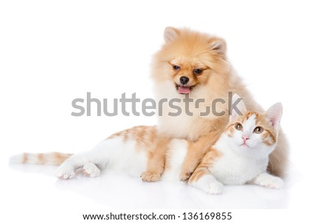 spitz dog and cat lie together. looking at camera. isolated on white background
