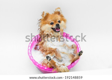 Spitz dog breed is taking a shower and gets pleasure - stock photo