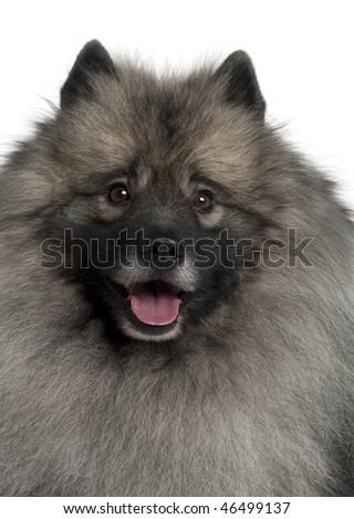 Spitz dog in front of white background, studio shot - stock photo