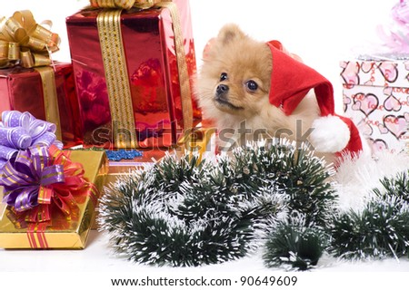 spitz-dog in New Year attire of Santa Claus - stock photo