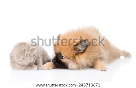 spitz dog playing with scottish cat. isolated on white background - stock photo