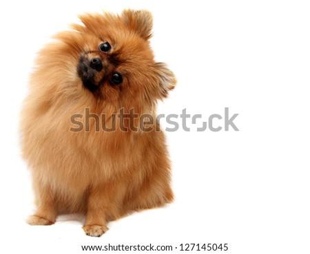 Spitz dog, shot on a white background - stock photo
