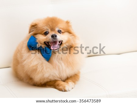 Spitz dog sits on the sofa with blue bow - stock photo