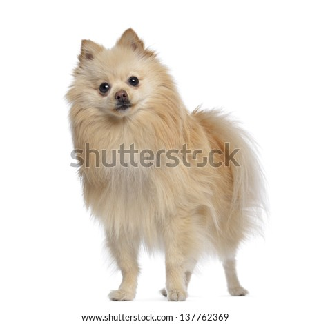 Spitz dog standing, 1,5 year old, isolated on white - stock photo