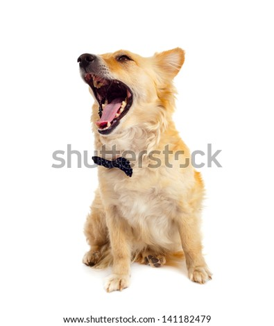 Spitz dog with bowtie on white background - stock photo
