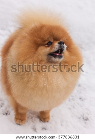 Spitz in the snow