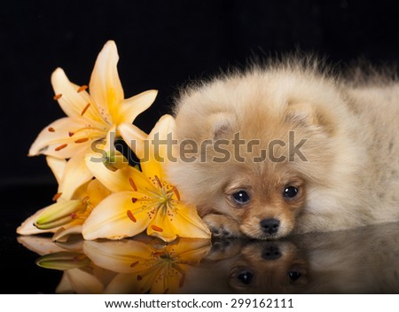Spitz Pomeranian  and lily flower - stock photo