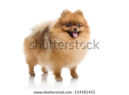 spitz, Pomeranian dog on white background, studio shot - stock photo