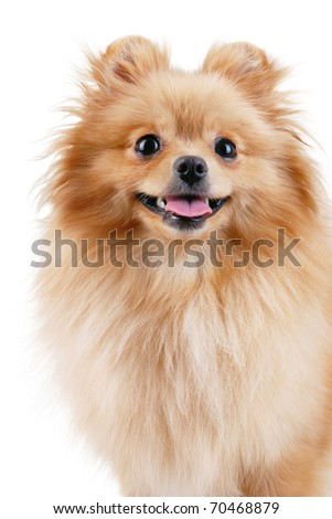 Spitz - pomeranian dog portrait. Isolated on white. - stock photo