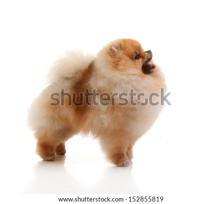 spitz, Pomeranian dog studio shot on white background  - stock photo