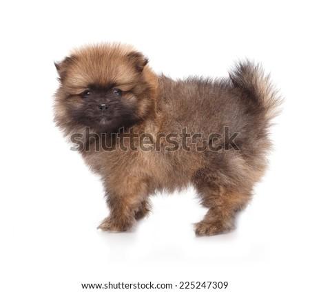 Spitz puppies. Pomeranian puppy dog on white background. Spitz dog on white background. Very small breed dog puppies. - stock photo