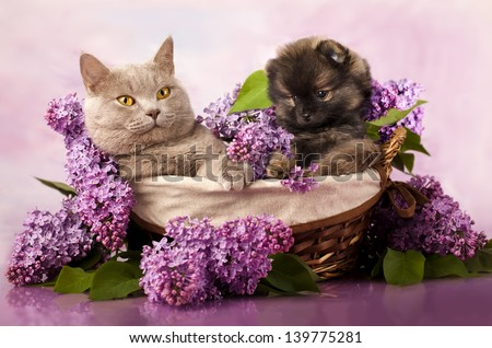 spitz puppy and cat, cat and dog - stock photo