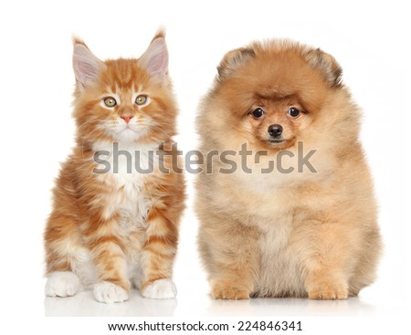 Spitz puppy and Ginger Maine Coon kitten posing on white background - stock photo