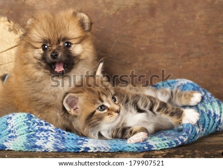 Spitz puppy and kitten breeds Maine Coon, Cat and dog - stock photo