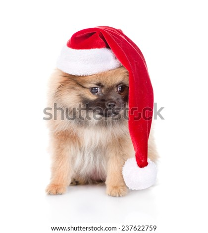 spitz puppy dog with red christmas Santa hat. isolated on white background - stock photo