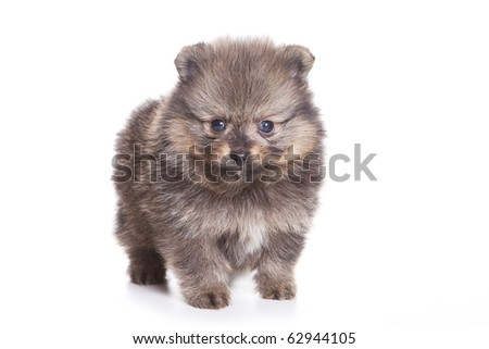 Spitz puppy isolated on white - stock photo