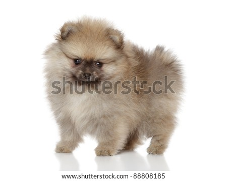 Spitz puppy (1 month) stand on a white background