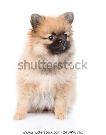 spitz puppy sitting in front. isolated on white background