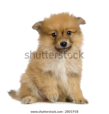 Spitz puppy sitting in front of white background - stock photo