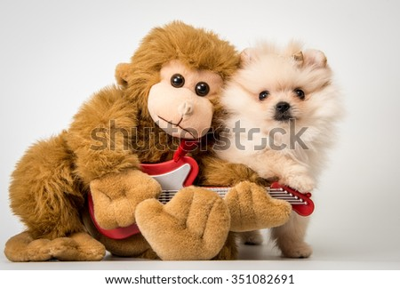 Spitz puppy with a toy monkey in the studio - stock photo