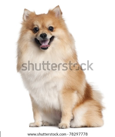 Spitz sitting in front of white background - stock photo