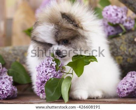 Spitz white and lilac color - stock photo