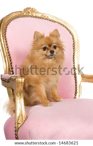 Spitz (6 years) in front of a white background - stock photo