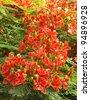 Splendid Gulmohar flowers - stock photo