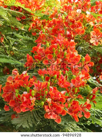 Splendid Gulmohar flowers - stock photo